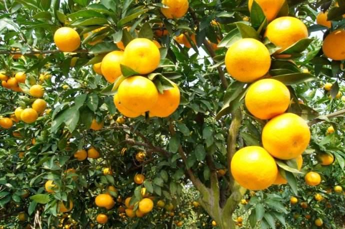 陶氏益农中国好柑橘第三季启动会邀您同见证
