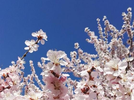 春日暖阳高,杏花如云霞~~