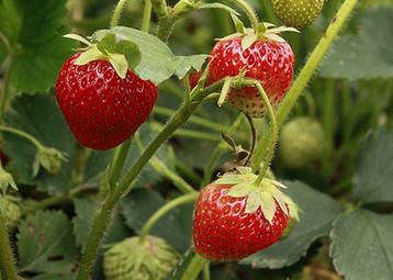 温度升高了,草莓该这样管理