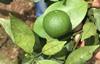 高清柑橘砂皮病图片大全及防治方法!