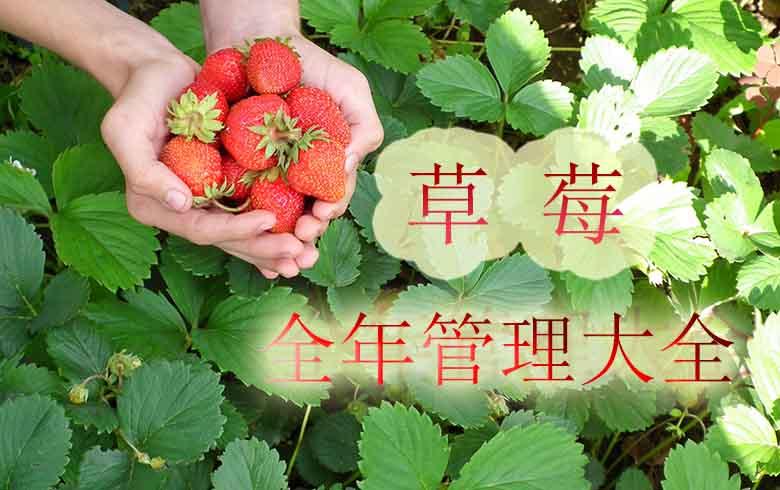 草莓全年管理大全