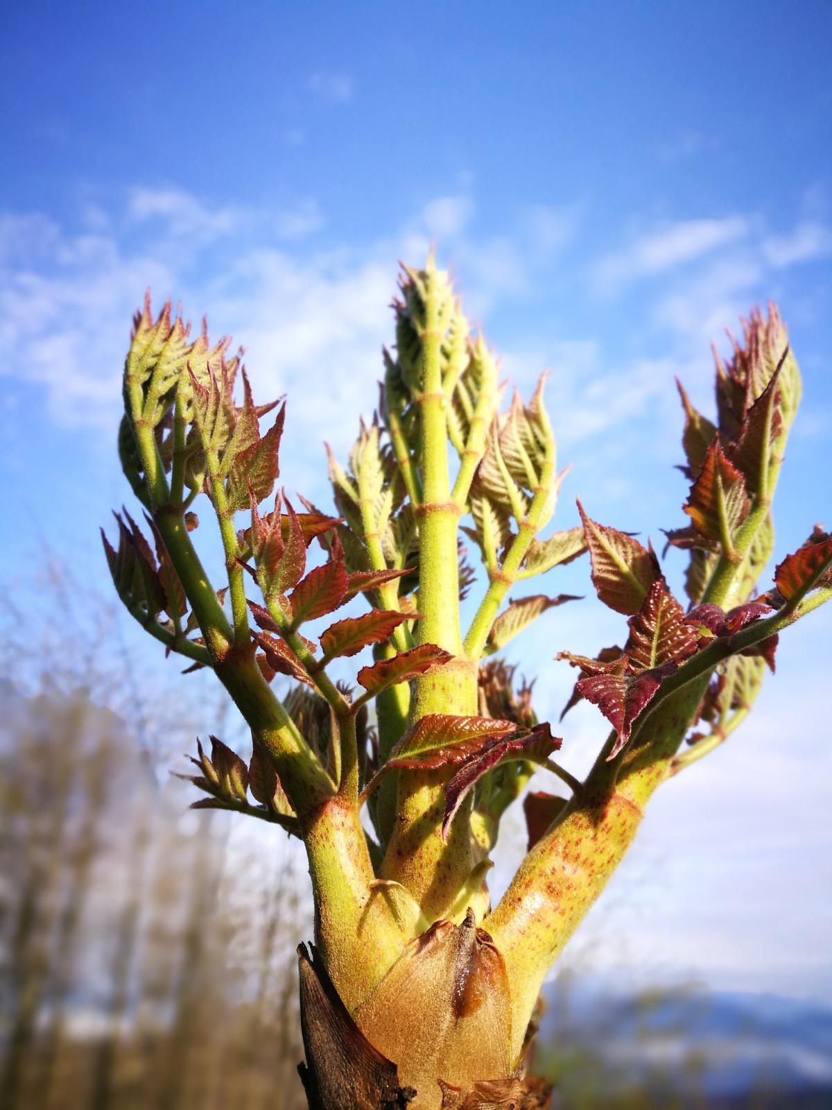 春天吃野菜的季节,摘刺老芽