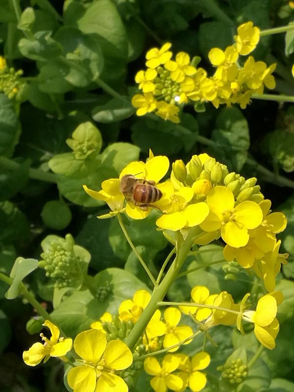 【邀春风】蜜蜂飞舞采蜜忙