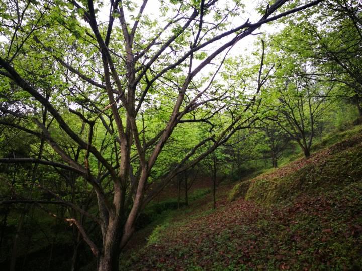好几天没上山,自家板栗林都有点绿树成荫的