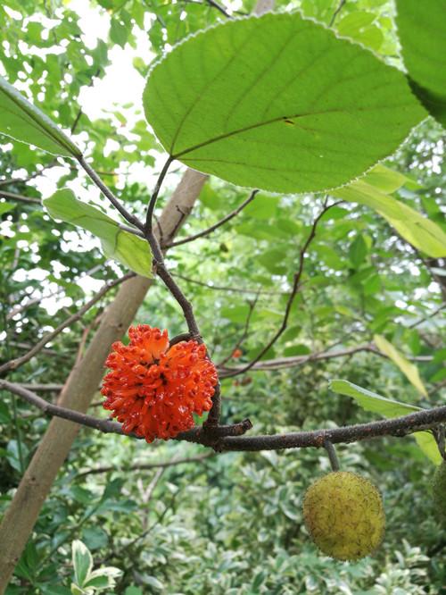 【知客】第一次见到构树果