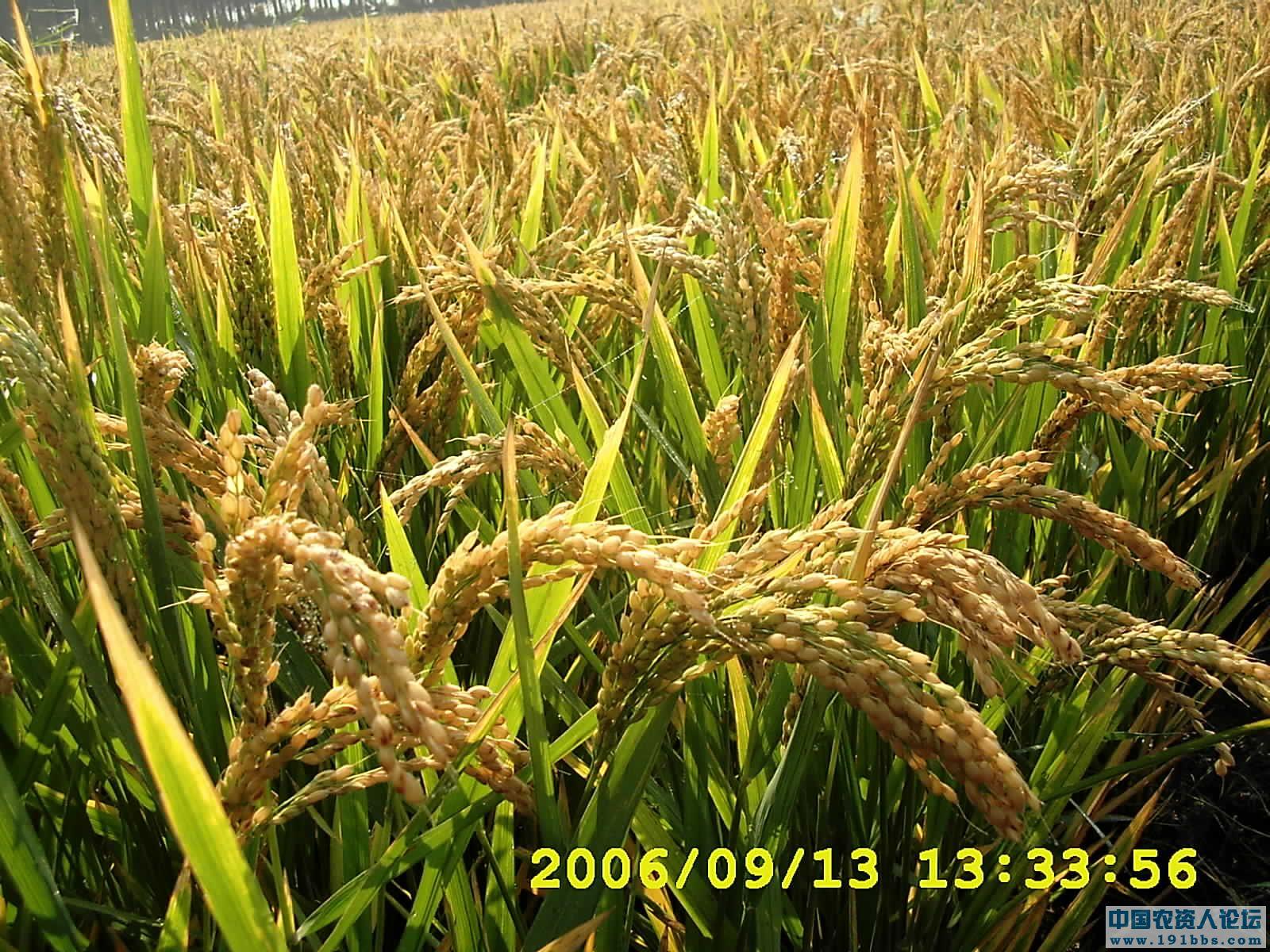 水稻提高产量、改善品质的施肥方法 [复制链接]