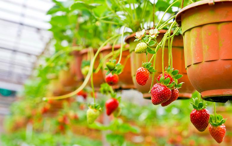 冬季草莓管理大全