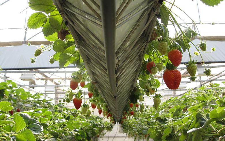 秋冬大棚草莓栽培技术