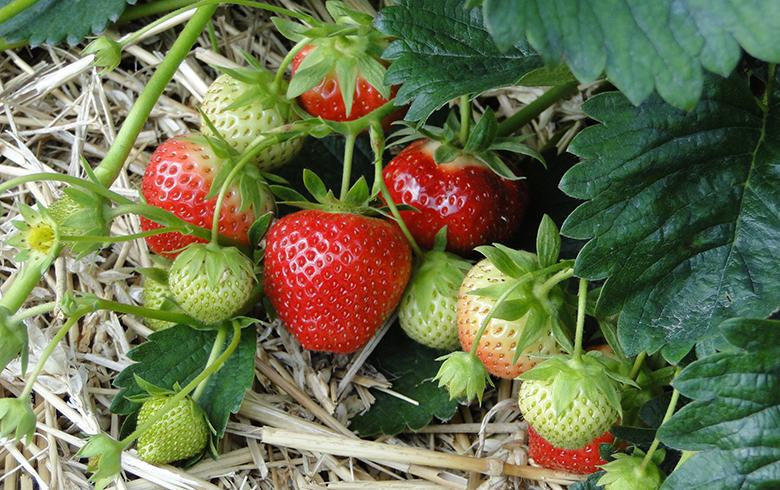 秋季草莓定植管理技术措施