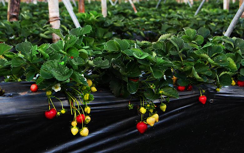 秋季怎样栽培草莓提高成活率?