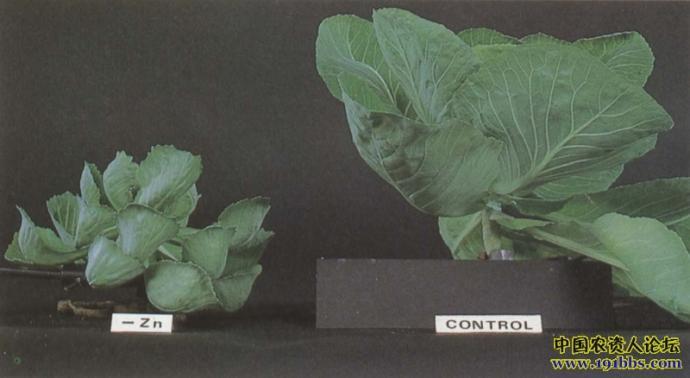 苹果树缺锌时表现为新梢上的叶片狭小,丛生呈簇状,芽苞减少.