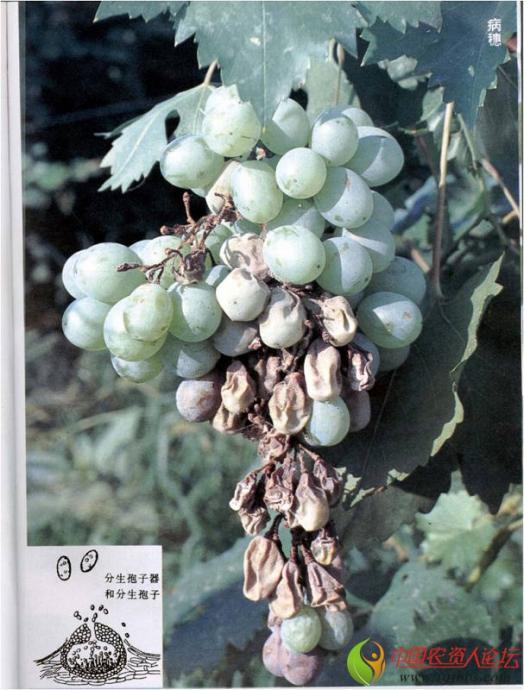 葡萄主要病虫害及其防治办法