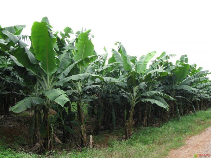 香蕉叶斑病防治效果显示