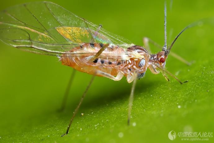 一组超清晰蚜虫标本图谱