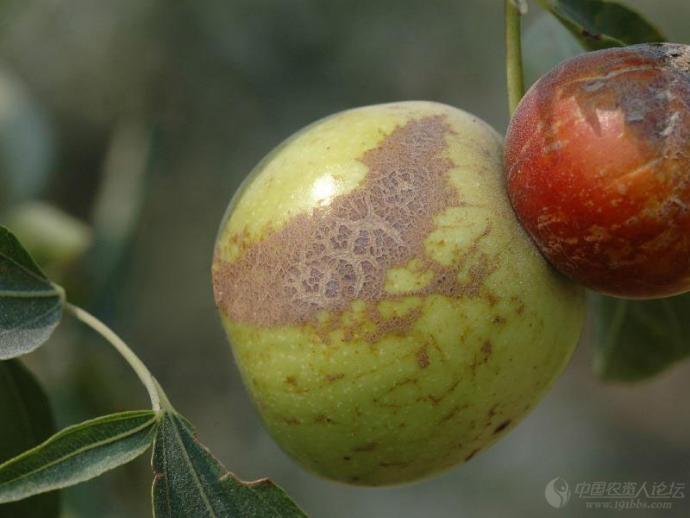 枣疯病又称丛枝病、扫帚病、火龙病,果农称其为疯枣树或公枣树,病原为枣植原体Jujube witches broom Phytoplasma.。发生广泛,是一种毁灭性病害。 发病初期先在枣树的上部个别枝上先出现症状,而后发展至全株。枝叶丛生、叶片黄化及花器退化是该病的主要特征。   1.根部 根部疯树主根由于不定芽的大量萌发,往往长出一丛丛的短疯根,同一条根上可出现多丛疯根。后期病根皮层腐烂,严重者全株死亡。   2.