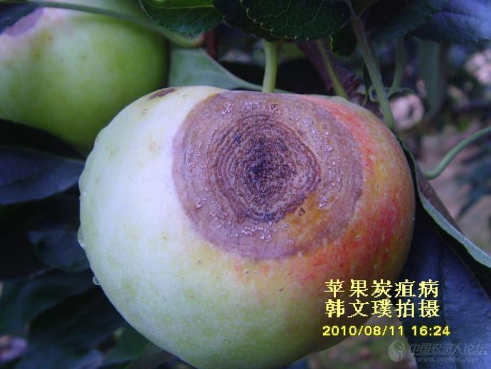 轮纹病寄主范围很广,除苹果外,还为害梨,桃,李,杏,枣,木瓜等多种果树.