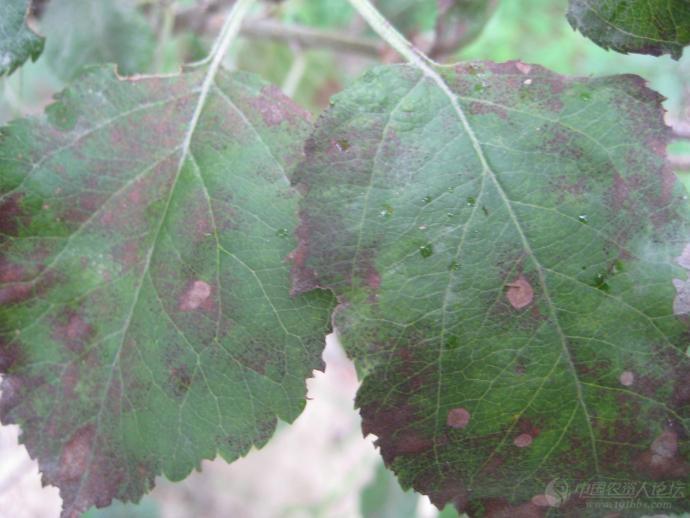 苹果褐斑病----你绝对没有见过!