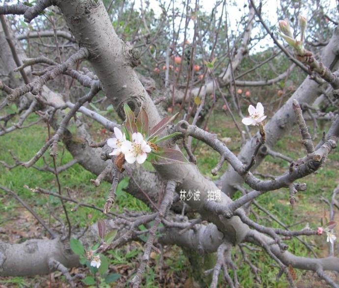 褐斑病是苹果叶片的主要病害,防治不及时引起苹果大面积落叶,给果农造成很大损失。前段时间一直在下面讲课,通过了解今年褐斑病发生情况比较少,但仍然有大面积落叶的果园,除了果园郁闭,不通风,不透光等问题,引起褐斑病的最主要原因就是用药不及时或者用药不当。 在胶东果区,许多农民习惯于在苹果套完后马上喷施波尔多液,波尔多液是一种非常好的保护性杀菌剂,持效期达15-20天;但是我们在套完袋后是不是喷施波尔多液要根据园片病害情况和天气情况走,而不是跟着老皇历或者张三李四走,如果套完袋后发现果园里已经有部分叶片感染褐斑病