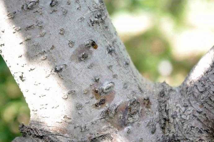 苹果树腐烂病病斑发展过程
