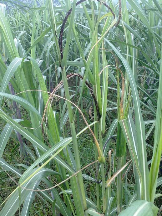 黑穗病属真菌性病害。以蔗茎顶端部生长出一条黑色鞭状物(黑穗)为明显特征,其黑穗短者笔直,长者或卷曲或弯曲,无分枝。感病蔗种萌发较早,蔗株生长纤弱。叶片狭长,色淡绿,节间短。宿根蔗、分蘖茎和干旱、瘦瘠而管理差的蔗田发病较多。高温高湿,雨季或蔗田积水,旱后较多雨等,为本病发生的有利条件。传播媒介主要是气流。 防治方法 1.