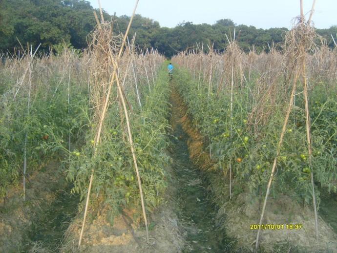 番茄青枯病的防治探索
