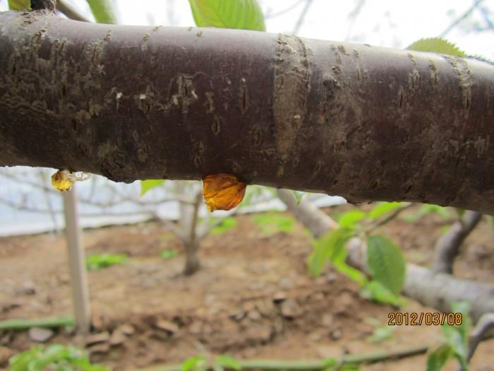 急 求助温室大樱桃树体流胶的防治办法图片