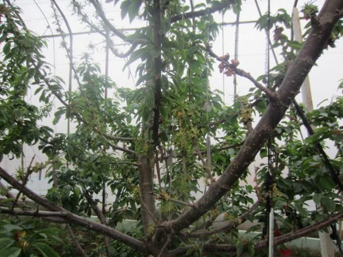 涝害后的大樱桃树图片图片