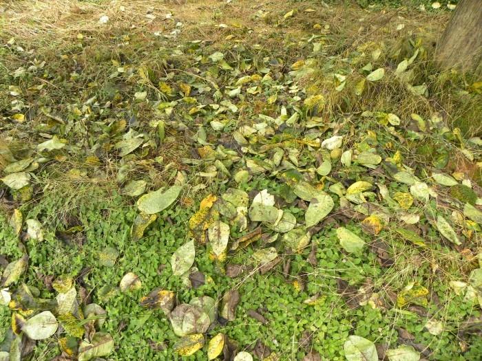 梨树褐斑病的防治