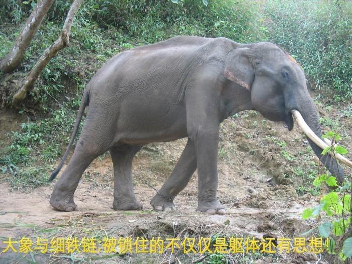 很早就听过大象和细铁链的故事,在一次旅行中,真切的见到了这一景,让我又想起来这个故事。 一根小小的柱子,一截细细的链子,栓得住一头千斤重力气惊人的大象?这不荒谬?这景象在一些地方随处可见。因为在大象还是小象的时候,那些训象人就用一条铁链将它绑在水泥柱或钢柱上,小象很不习惯这样被绑住,用力去挣脱铁链的束缚,却又怎么都挣脱不掉,累了的小象只好习惯被铁链这样绑住。小象经过多次努力后,还是无法挣脱铁链时,小象就安分了下来。它知道无论自己怎么努力,这一切都是徒劳。小象开始习惯了铁链,只要用铁链将小象拴住,小象便