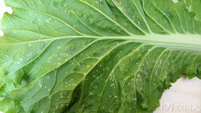 白锈病危害后交叉感染交链孢菌后,部分病斑黑色坏色。 预防方法:1,对于曾经发生过白菜白锈病的田块,在白菜收获后,要及时清理天就爱你病残落叶,减少病源来年传播的可能。 2.对于生长中的白菜,要加强田间肥水管理,增强植株的抗病能力。雨季加强田间排涝,防止雨水浸泡。 3.