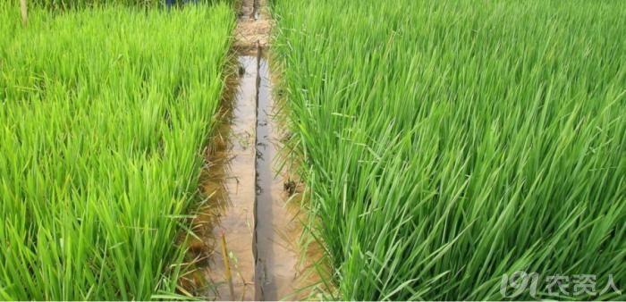 水稻茎杆结构图
