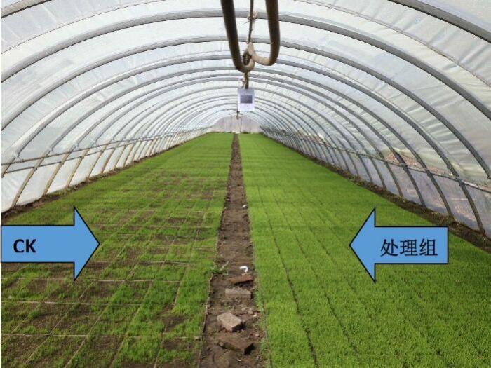 水稻茎初生结构观察