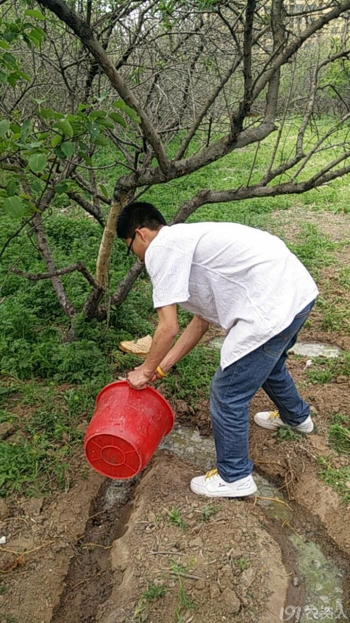 你见过这种治疗桃树流胶病的方式么?
