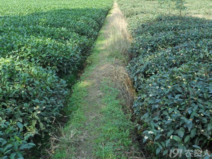 茶树开花 资料专区 农技社区服务平台