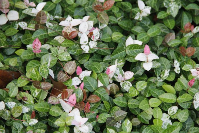 【印象夏天】五彩的花叶络石图片