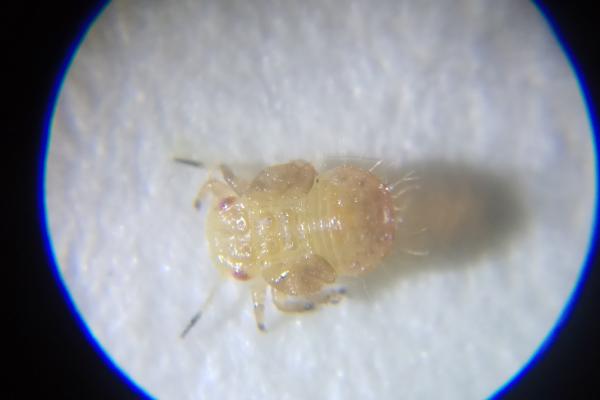 梨木虱幼虫~莱州合强拍摄