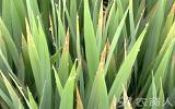 水稻秧苗出现红叶?这三种情况要分清!
